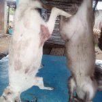 Antílope blanco cazado en la Isla de Bioko